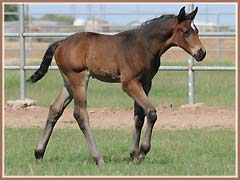 Cazador, Trakehner colt for sale by Tradition *Pb*