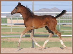 Kalua's 2009 colt by EH Lehndorff's, 2 months old!