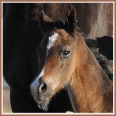 Kalua's 2009 colt by EH Lehndorff's.  Photo at 10 hours old!
