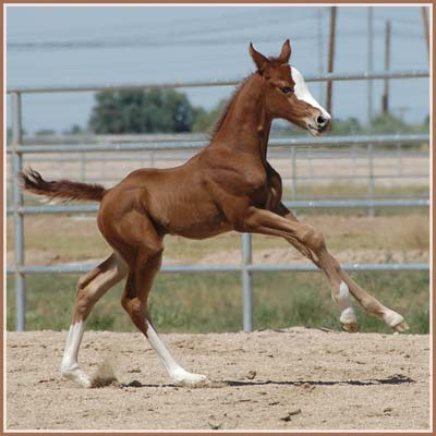 Padua - Aul Magic Colt